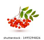 red ripe rowan berries bunch... | Shutterstock .eps vector #1495294826
