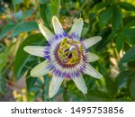 Small photo of Close up passiflora. Passion Flower (Passiflora caerulea) leaf in tropical garden. Beautiful passion fruit flower or Passiflora (Passifloraceae). Passiflora is genus of 550 species. Blue passion fruit
