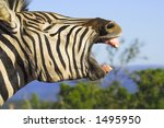Zebra yawning with its mouth wide open. Good shot for dental projects - stock photo
