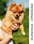 Puppy Pomeranian. Man Holds Hi...