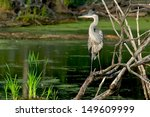 A Great Blue Heron Is Standing...