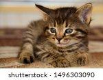Stock photo cute little grey kitten with blue eyes relaxing closeup portrait of grey kitten the kitten 1496303090