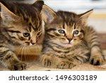 Stock photo two cute little grey kitten with blue eyes relaxing closeup portrait of grey kittens the kitten 1496303189