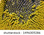 Seeds Of Sunflower  Close Up....