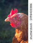 Small photo of A ex battery pullet warren hen or chicken showing the beak, eye, red wattles and crest