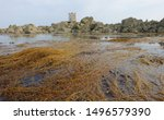 The Invasive Seaweed Known As...