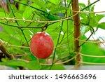 Close Up Ripen Passion Fruit O...