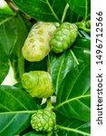 Great Morinda Fruit Or Tahitia...