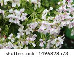Blooming White Geranium In The...