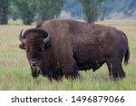 North American Bison Stare Down