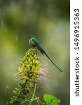 Aglaiocercus kingi or Long-tailed sylph.The hummingbird is sitting on the flower prepared to drink the nectar, amazing colored bird, amazing picturesque green background