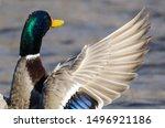 Mallard Duck Stretching Its...