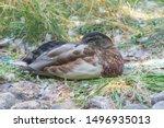 Young Male Mallard Ducks At Th...