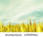 wheat field | Shutterstock . vector #14969461