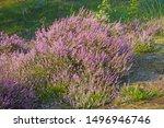 A Macro Closeup Of Pink Purple...