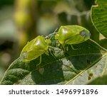 green stink bug or shield bug...