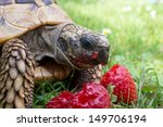 Tortoise Eating Ripe...