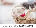 Stock photo closeup shot of little persian kitten sleeping in basket 1497160979