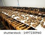 Stock photo helix aspersa muller maxima snail organic farming farm snail which grows edible snails shelf 1497230960