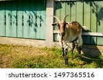 A Goat Tied To A Fence