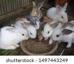 Stock photo feeding rabbits cute baby rabbits are eating readymade rabbit food from a tray in rabbits farm 1497443249