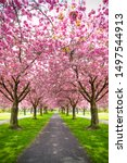 Small photo of Vertical image of park with alley of pink blossoming sakura trees. Spring landscape. Walking path under the beautiful sakura trees or cherry trees tunnel during blossom season. Romantic walkway Sakura