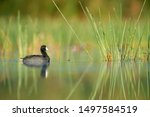 An American Coot Swims Among...