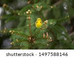 A Prairie Warbler perched in a pine branch looking straight ahead.