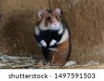 Stock photo the european hamster cricetus cricetus also known as the eurasian hamster black bellied hamster 1497591503