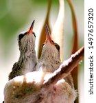 Two Baby Anna\'s Hummingbird...