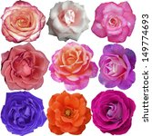Stock photo the rose blooms 149774693
