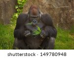 Gorilla Eating Some Grass