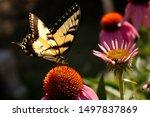 Western Tiger Swallowtail...
