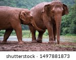 Elephants Playing In Mud At...