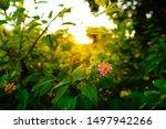 Lantana Flowers Camara With...