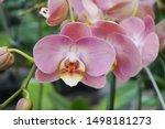 Pink Phalaenopsis.pink...