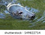 Adult Seal  Halichoerus Grypus...