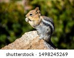Chipmunk Sits And Nibbles On A...