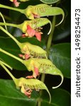 Small photo of Incipient fruits of Tara spinosa (=Caesalpinia spinosa), a small leguminous tree or shrub native to Peru, Ecuador, Colombia and Chile.