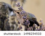 Rescued Baby Anna\'s Hummingbir...