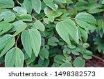 Red Bauhinia Leaves  Bauhinia...
