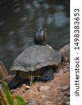 Beautiful Western Painted turtle Chrysemys picta having sunbath near water pond