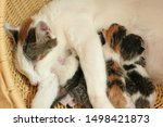 Stock photo mother fluffy cat pregnant give birth new born baby kittens drinking milk from their mom s breast 1498421873
