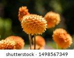 Dahlia Flower Called Dahlia...
