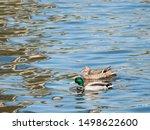 A Couple Of Wild Mallard Ducks...