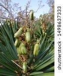 Yucca Gloriosa  Spanish Dagger...