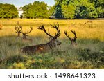 Red deer stags in Bushy park, London UK