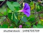 A Purple Flower  Morning Glory...