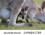 Red Necked Wallaby Or Bennett\'...