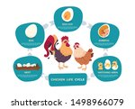 chicken life cycle. chicken and ... | Shutterstock .eps vector #1498966079